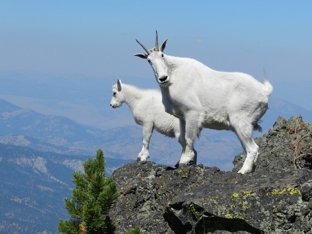 mountain-goats-869176_1280